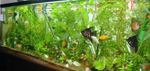أنواع أحواض سمك الزينة